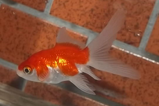ヒレ 黒い 金魚